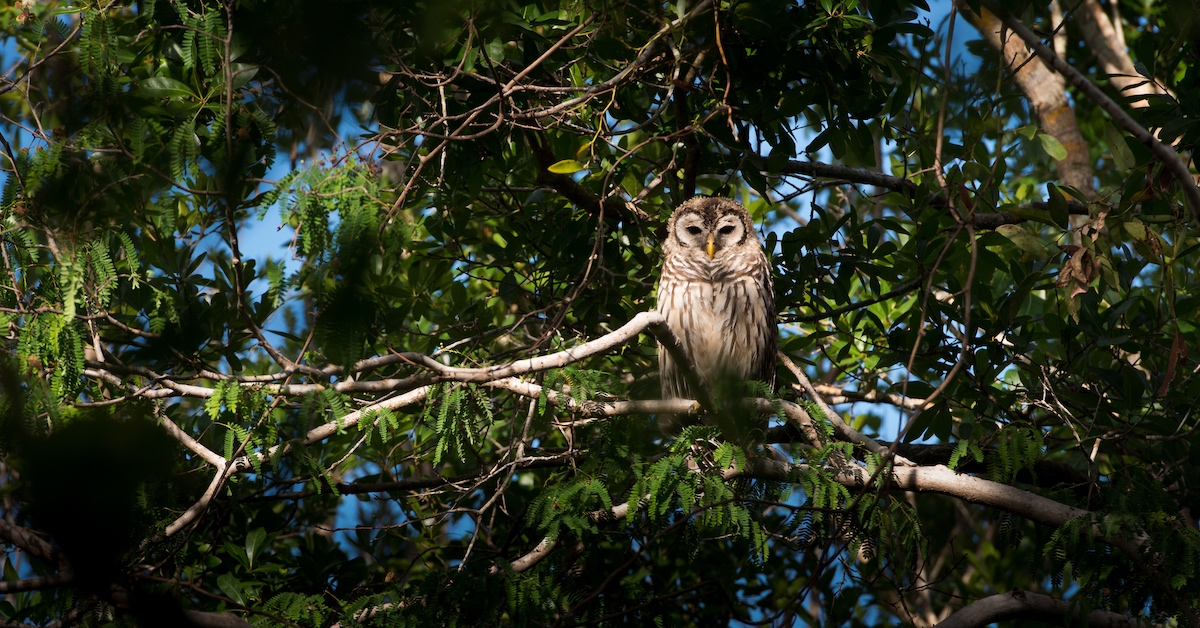An onlooking owl in the Everglades, FL